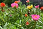 Is portulaca toxic to cats?