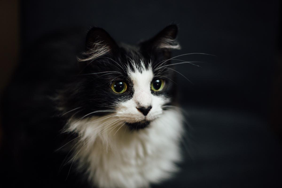 Recessive genes in cats