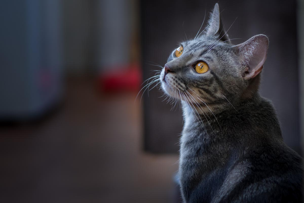 What is a black tabby cat?