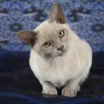 Dilute Coat Colour in Cats