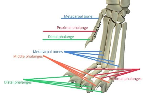 Bones of the cat foot