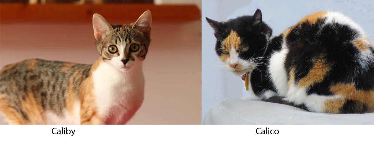 Difference between a caliby and a calico cat