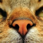 Sense of Smell (Olfaction) in Cats