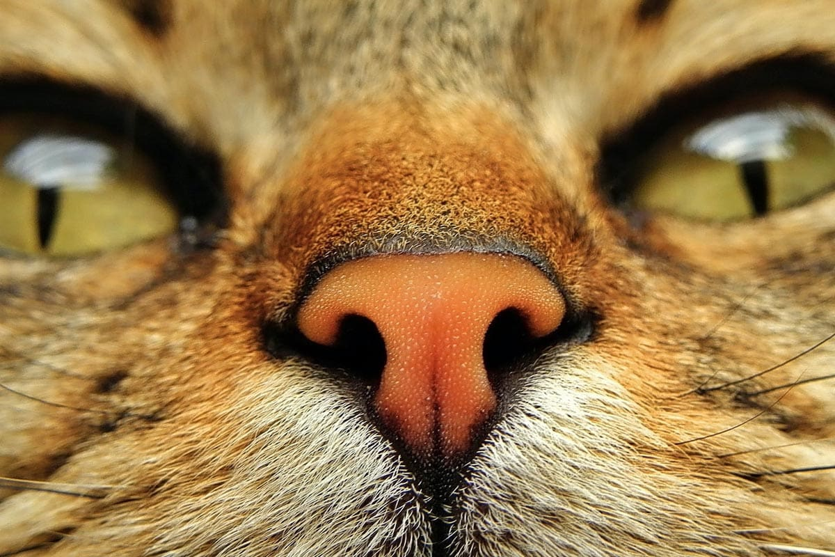 Sense of smell in cats