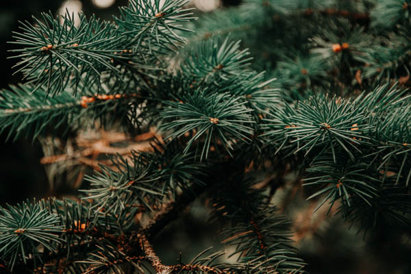 Christmas plants toxic and non-toxic to cats