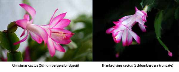 Are Christmas cactus and Thanksgiving cactus the same?