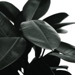 Is Rubber Plant (Ficus Elastica) Toxic to Cats?