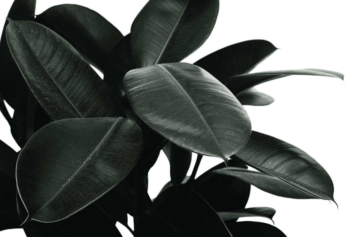 Is rubber plant toxic to cats?