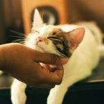 Cat Scent Glands: Location and Function