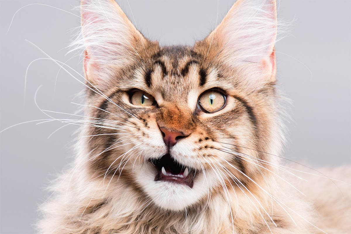 Vomeronasal organ in cats